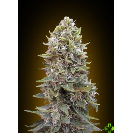 Auto cheese berry Feminizada 5 und