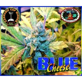 Blue cheese Feminizada 5 und