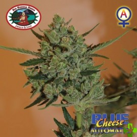 Auto blue cheese Feminizada 5 und