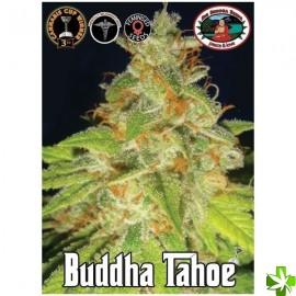 Buddha tahoe Feminizada 5 und