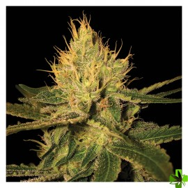 Cannalope haze Regular 6 und