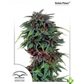 Durban poison feminizada 3 und
