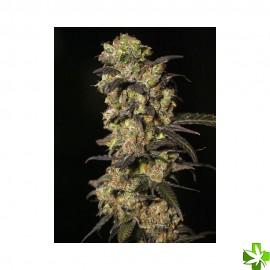 Pink plant Feminizada 3 und
