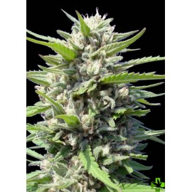 Auto northern lights feminizada 1 und