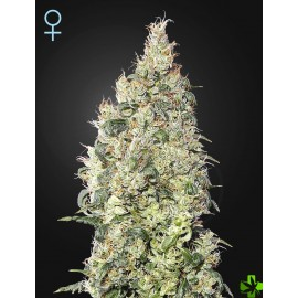 Cbd great white shark Feminizada 3 und