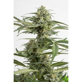 Auto critical cheese Feminizada 1 und