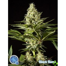 Blackbomb Feminizada 1 und