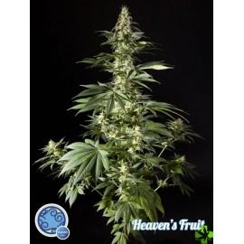 Heaven's fruit Feminizada 1 und