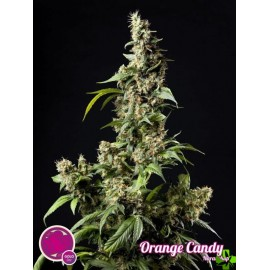 Orange candy Feminizada 1 und