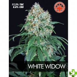 White widow Feminizada 1 und