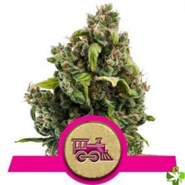 Candy kush express-fast Feminizada 1 und