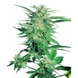 Big bud Feminizada 3 und